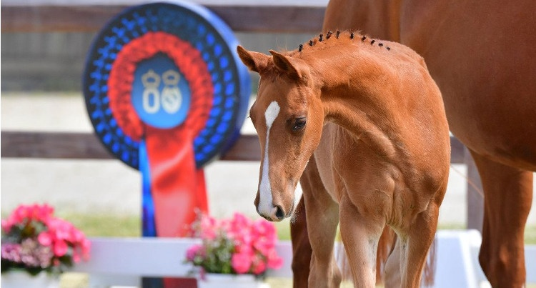Online Elite Foal Auction, fot. Oldenburger Pferdezuchtverband