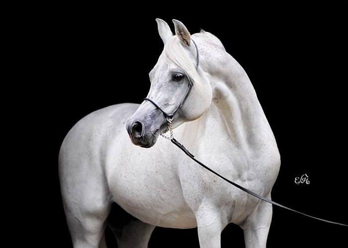 Ewa Imielska Hebda, najlepsze zdjęcia koni arabskich, konie arabskie z polski