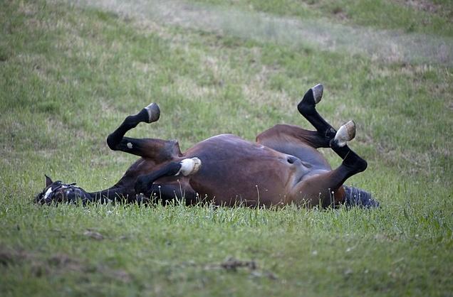 kolka koń kolka u konia koń ból brzucha