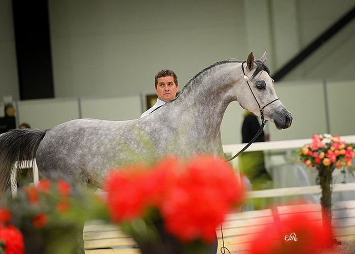 Ewa Imielska Hebda fotografka koni arabskich, pokazy koni arabskich