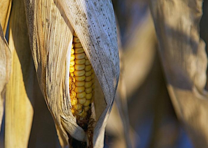 Żywienie: Pasze treściwe stosowane w diecie koni kukurydza