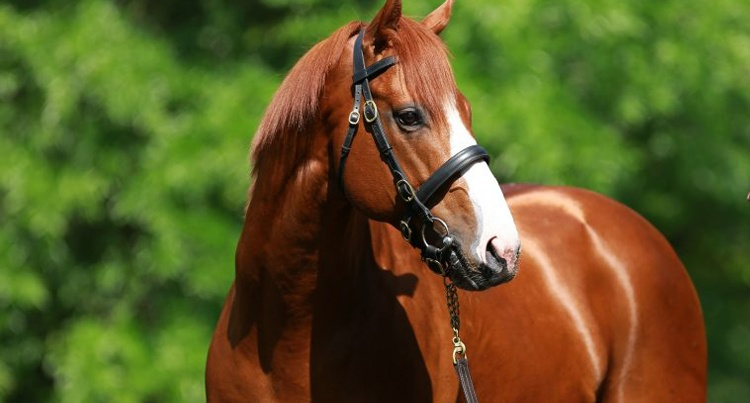 Justify (Scat Daddy – Stage Magic/Ghostzapper), fot. www.coolmore.com