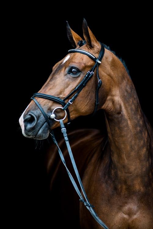 Boliwia Elvis, Wechta Equestrian 2015