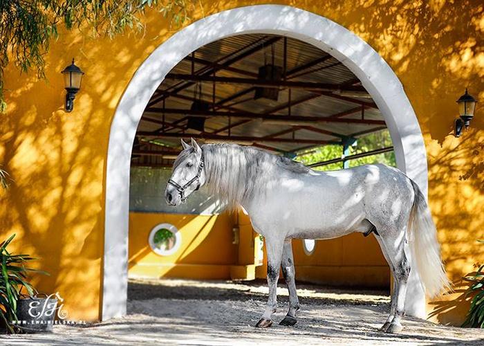 Ewa Imielska Hebda, fotografia koni, fotograf koni, koń andaluzyjski