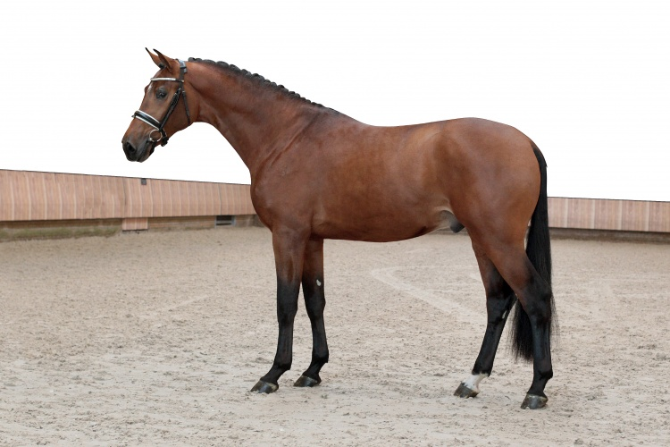 Handsome O (Johnson x Rousseau) KWPN Hengstenkeuring 2015